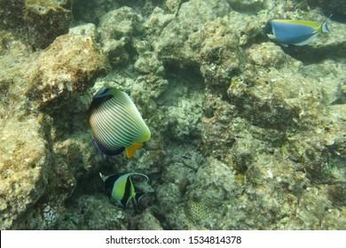 Emperor angelfish in nature underwater