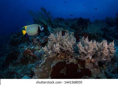 Emperor angelfish over a reef in Tubbataha, Philippines.