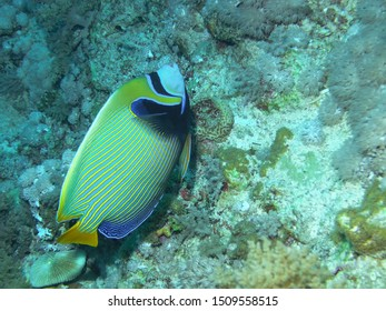 An Emperor Angelfish (Pomacanthus imperator)