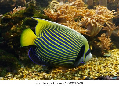 Emperor angelfish (Pomacanthus imperator) among the underwater coral reef