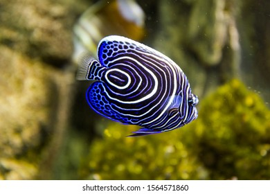 Emperor angelfish (Pomacanthus imperator) among corals