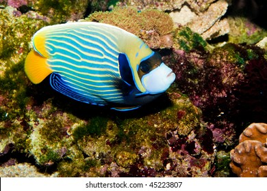 Emperor Angelfish (Pomacanthus imperator) in Aquarium