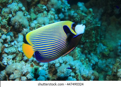 Emperor angelfish (Pomacanthus imperator) in the coral reef
