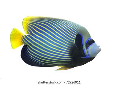 Emperor Angelfish (Pomacanthus imperator) Isolated on white background