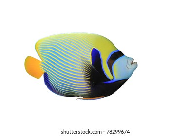 Emperor Angelfish (Pomacanthus imperator) isolated on white background