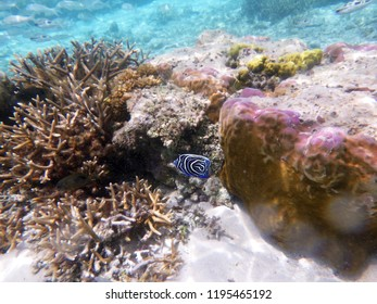 Emperor Angelfish (Pomacanthus imperator) Juvenile over coral reefs