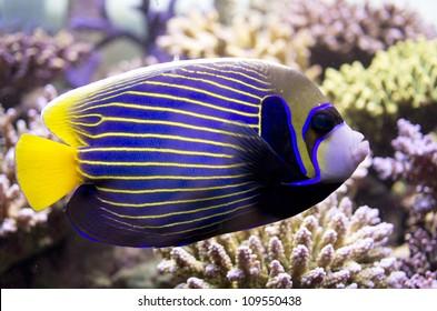 emperor angelfish, Pomacanthus imperator, marine angelfish, tropical fish