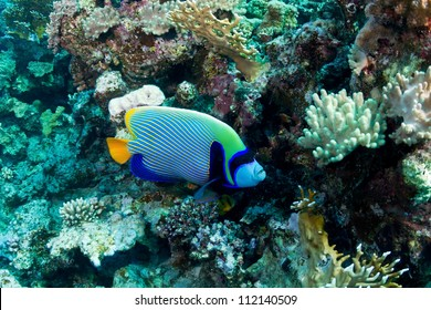 Emperor angelfish (Pomacanthus imperator) in the Red Sea, Egypt.