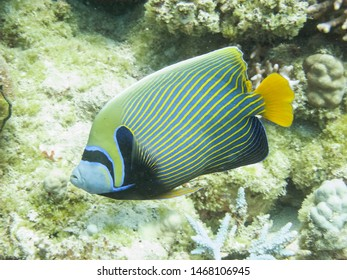 The emperor angelfish (Pomacanthus imperator), a reef fish in the Red Sea off the coast of Yanbu in Saudi Arabia.