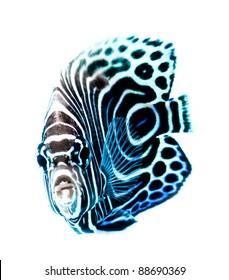 Emperor Angelfish, Pomacanthus Imperator, reef fish