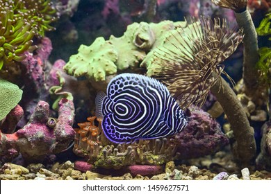 The Emperor angelfish (Pomacanthus imperator) is a species of marine angelfish. It is a beautiful reef fish