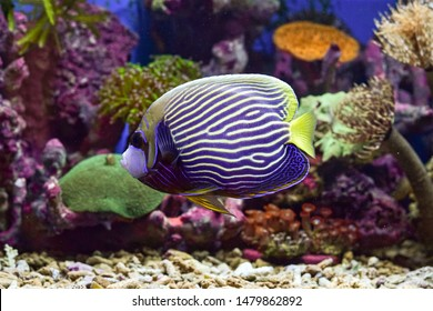 The Emperor angelfish (Pomacanthus imperator) is a species of marine angelfish. This is a reef related fish, originating from the Indian and Pacific Oceans, from the Red Sea to Hawaii and the Austral