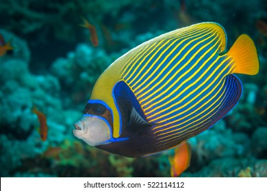 Emperor angelfish (Pomacanthus imperator) swimming over a coral reef with anthias in the background. Red Sea, Egypt, November
