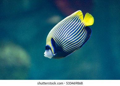 Emperor angelfish (Pomacanthus imperator) swimming over a coral reef with anthias in the background. Marine fish.