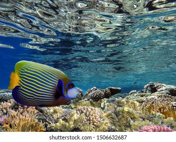 Emperor angelfish (Pomacanthus imperator). Tropical fish. Red Sea