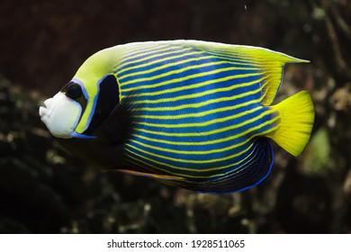 Kaiser Engelfisch (Pomacanthus Imperator). Tropischer Fisch.