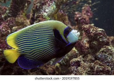Kaiserangelfisch (Pomacanthus imperator) Unterwasseransicht