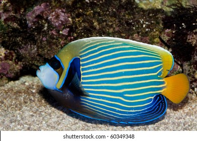 Emperor angelfish in saltwater aquarium