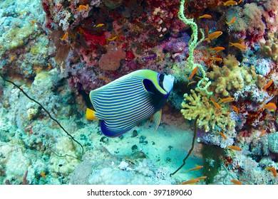 Emperor angelfish-Pomacanthus imperator, Red Sea, Sudan.