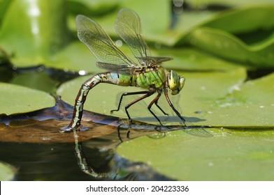 Emperor Dragonfly - Anax imperator Female laying eggs on floating vegitation