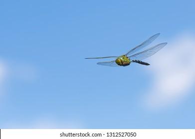 emperor dragonfly closeup