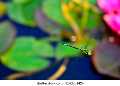 emperor dragonfly during a flight over a pond with water lilies