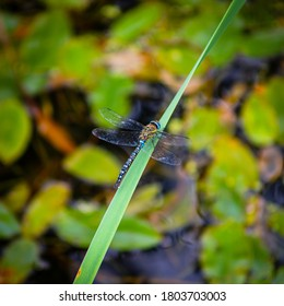 Emperor Dragonfly Laying an Egg.