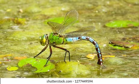 Emperor Dragonfly, UK.