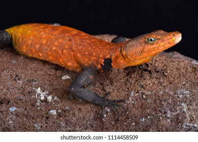 Emperor flat lizard (Platysaurus imperator) is the largest species of its family. They are found in Mozambique and Zimbabwe.