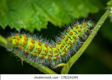 Emperor moth Caterpillar/ Larvae, (Saturnia pavonia), Walking along a green stem with a black background.