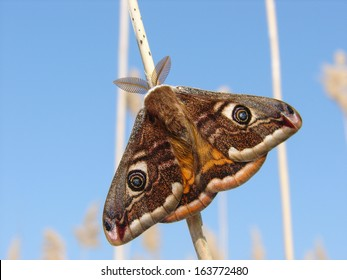 Emperor Moth resting on reed with blue sky behind