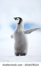 Emperor Penguin (Aptenodytes forsteri) chick at Snow Hill Island, Weddel Sea, Antarctica