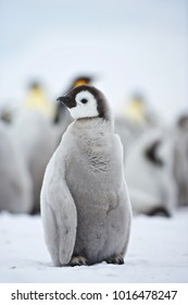Emperor Penguin (Aptenodytes forsteri), chick at Snow Hill Island, Weddel Sea, Antarctica