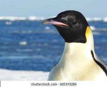 Emperor Penguin (Aptenodytes forsteri) closeup