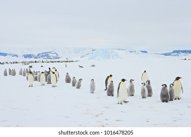 Emperor Penguin (Aptenodytes forsteri) marching with chicks at Snow Hill Island, Weddel Sea, Antarctica