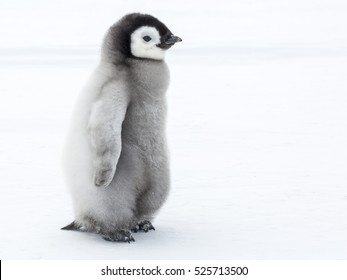 Emperor Penguin chick