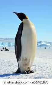 Emperor penguin chick. Close-up