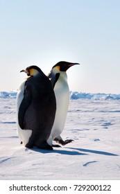 Emperor penguin chick. Close-up. Antarctica.