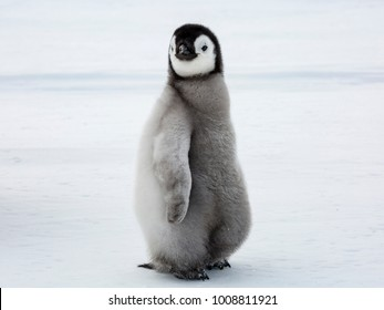Emperor Penguin Chick glancing sideways