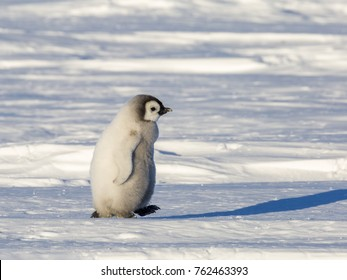 An Emperor Penguin chick makes a move on the frozen Weddell Sea in Antarctica