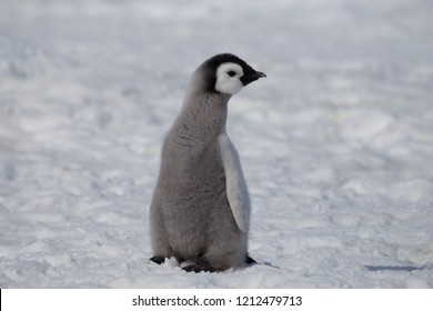 An Emperor Penguin chick at Snow Hill Emperor Penguin colony, Weddell Sea, Antarctica. October 2018
