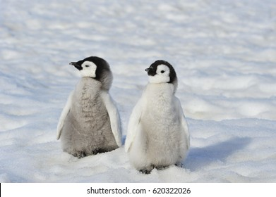 Royalty Free Baby Penguin Stock Images Photos Vectors