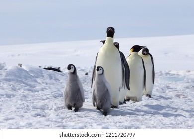 Emperor penguin chicks and fully grown adults at the Snow Hill Colony in the Weddell Sea. October 2018, Antarctica