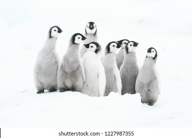 Emperor Penguin chicks may be the cutest babies in the world.  With them the cute factor is off the charts.  They are delightful in small groups as well--social, playful, downy bundles of energy.