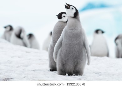 Emperor Penguin Chicks may be the cutest babies in the world--certainly the cutest chicks.  They sing constantly, looking for and begging from parents.