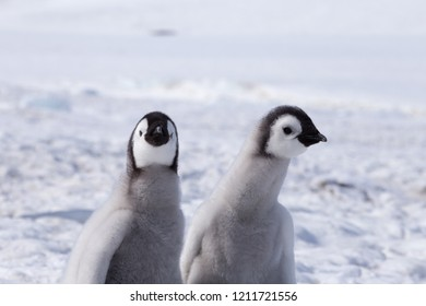 Emperor penguin chicks at Snow Hill Colony, Weddell Sea, Antarctica