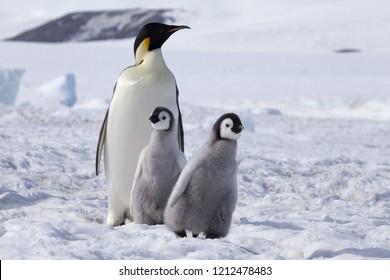 Emperor Penguin with chicks at Snow Hill. Weddell Sea, Antarctica. October 0218