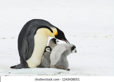 Emperor Penguin with chicks at Snow Hill, Antarctica 2018