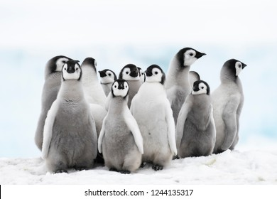 Emperor Penguin chicks at Snow Hill Antarctica 2018