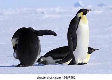 Emperor penguin group
